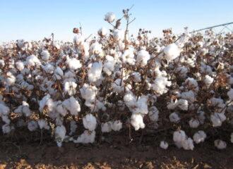 Cotton Texas Coop